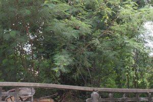 ต้นไม้สูง ด้านในแปลงถมที่ดิน ซอยลาดพร้าว 41