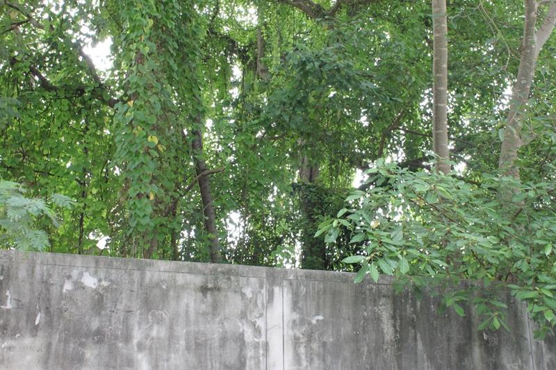 ต้นไม้สูง ในแปลงถมที่ดิน ซอยลาดพร้าว 41